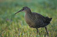 Clapper Rail, Rallus longirostris, adult on lawn, Rockport, Texas, USA, December 2003