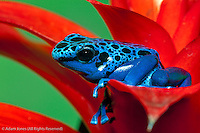 Blue Dart Frog, Dendrobates azureus, reclassified as, Dendrobates tinctorius, Surinam