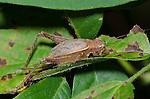 Restless Bush Cricket (Hapithus agitator) female, Oklahoma, USA