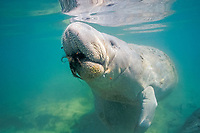 Florida manatee or West Indian manatee, Trichechus manatus latirostris, feeding, Crystal River, Florida