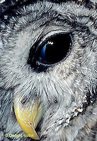 OW01-046z   Barred Owl - head close-up showing eye with nictitating membrane- Strix varia