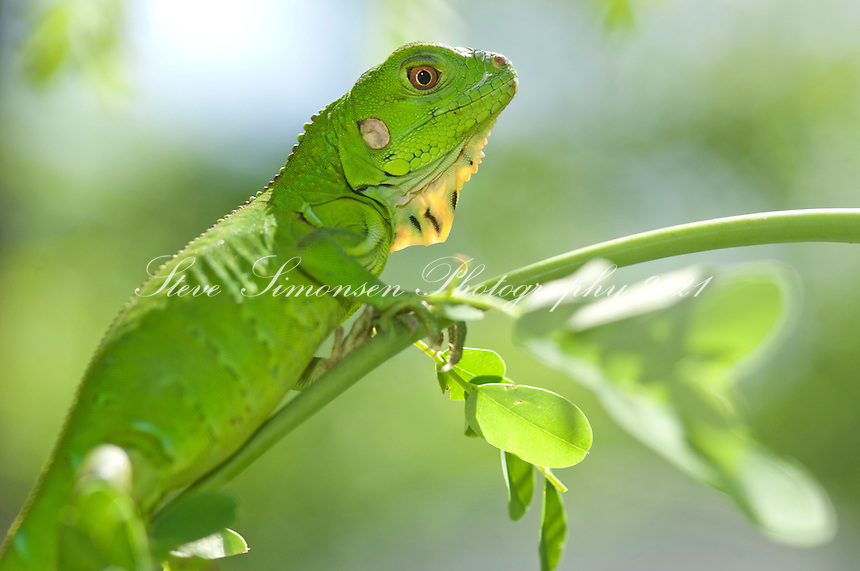 Young green iguana.St. John.U.S. Virgin Islands