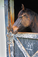 Horse named Lightfoot in stable with old wooden door on barn in Charlottesville, Virginia