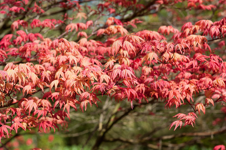 Acer palmatum 'Shindeshojo', mid April.