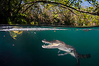 Morelet's crocodile, Central American crocodile, Mexican crocodile, or Belize, Caribbean, Atlantic crocodile, Crocodylus moreletii, makes open-mouth threat display toward photographer in cenote, or freshwater spring, near Tulum, Yucatan Peninsula, Mexico, Caribbean, Atlantic