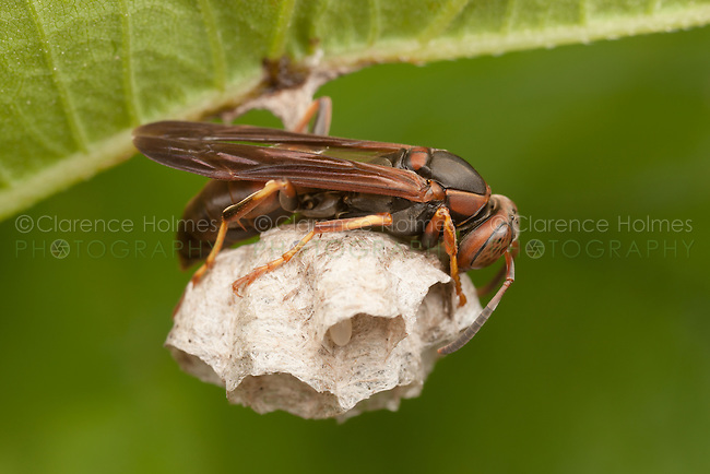 A female Northern Paper Wasp (Polistes fuscatus) tending eggs in a nest hanging from the bottom of a leaf, Ward Pound Ridge Reservation, Cross River, Westchester County, New York