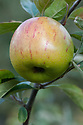 Apple 'Bow Hill Pippin', late September. An English cooking apple raised by A.S. White at Bow Hill, Maidstone, Kent at the end of the 19th century. First introduced commercially in 1893.