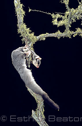 Squirrel Glider (Petaurus norfolcensis) Southeastern Australia. Threatened species