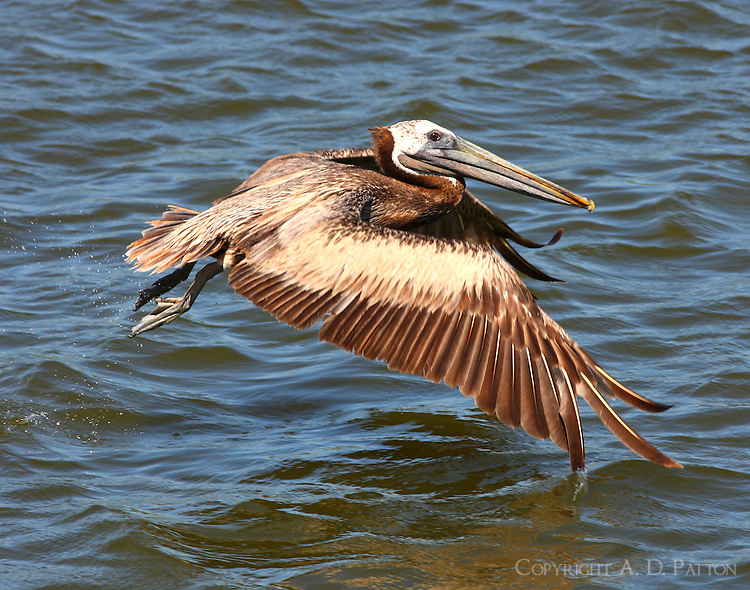 Adult brown pelican taking off