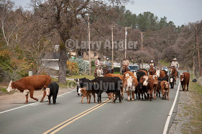 Driving the cattle down the road and back into pasture. Calf marking and branding with Elliot Joses, Valley Springs, Calif.