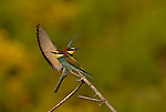 Bee Eaters ( merops apiaster ) on end of branch one with wings open as it lands, Andalucia, Spain.