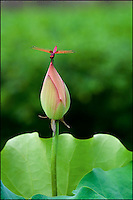 A red dragonfly on the tip of a lotus flower bud, China.