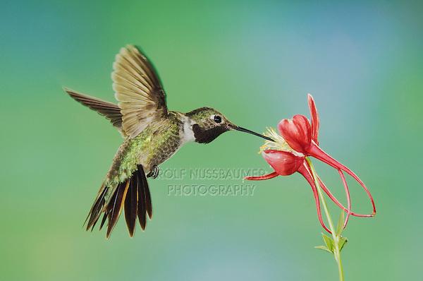 Broad-tailed Hummingbird, Selasphorus platycercus, male feeding on columbine, Paradise, Chiricahua Mountains, Arizona, USA