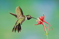 Broad-tailed Hummingbird, Selasphorus platycercus, male feeding on columbine, Paradise, Chiricahua Mountains, Arizona, USA