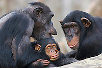 Germany, DEU, Muenster, 2007Jun05: A chimpanzee family (Pan troglodytes) sitting close together in the Muenster zoo.