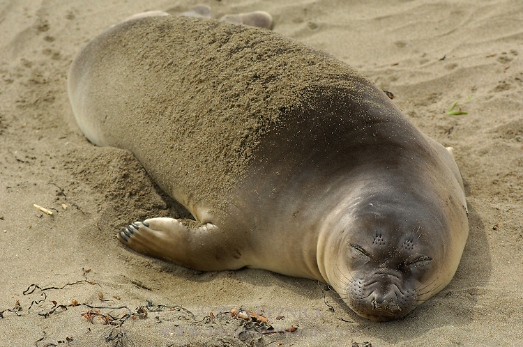 Elephant Seal Young Female Sleeping, Close Portrait, Northern Elephant Seal, Piedras Blancas Rookery, San Simeon, California
