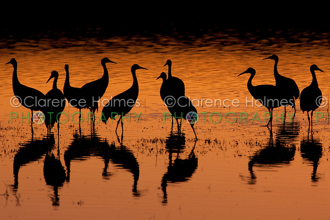 Flock of Sandhill Cranes (Grus canadensis) silhouetted against sunset colored water