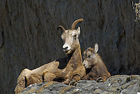 Ewe and lamb big horn sheep high in the cliffs in Jasper National Park Alberta Canada.