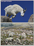 Mountain Goats on Mount Evans John offers private photo tours and workshops throughout Colorado. Year-round.