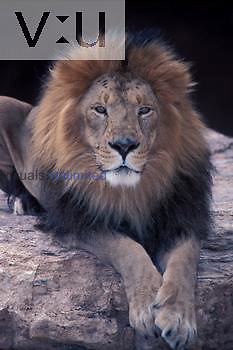 Asian Lions ,Panthera leo persica,