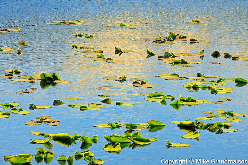 Water lilies in pond on the Stewart Cassiar Highway<br /> near Bob Quinn Lake<br /> British Columbia<br /> Canada