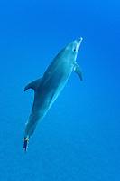 Pacific Bottlenose Dolphin; Tursiops truncatus