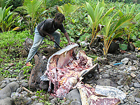 poacher, poached leatherback sea turtle, Dermochelys coriacea, poached after it attempted to nest, Dominica, Caribbean, Atlantic
