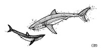 Great white shark, Carcharodon carcharias, attacking shortfin mako shark, Isurus oxyrinchus, pen and ink illustration.