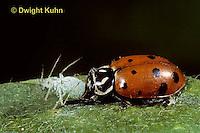 1C02-032z  Convergent Ladybug eating aphid prey, Hippodamia convergens