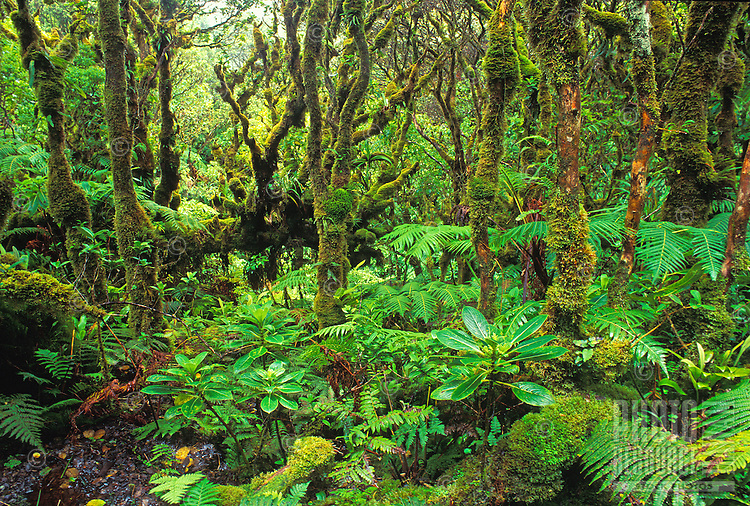 Kamakou Preserve rainforest, Molokai, Hawaii. 98% native species