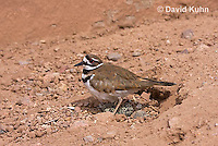 0510-1108  Killdeer, Adult Cooling Eggs in Hot Summer Sun by Shading the Eggs, Charadrius vociferus  © David Kuhn/Dwight Kuhn Photography