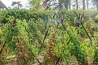France, Indre-et-Loire (37), Montlouis-sur-Loire, jardins du château de la Bourdaisière, le potager conservatoire de la Tomate
