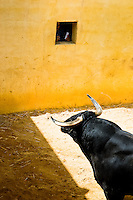 A fighting bull kept in the corral behind the bullfighting arena before Corida de Toros, Torremolinos, Spain, 28 July 2006.