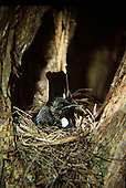 A tui sits incubating eggs in its nest situated in the fork of a Manuka tree, Hen Island, Northland, New Zealand.