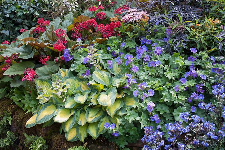 Hosta, Geranium Rozanne, Bergenia, Sambucus , blue Polemonium, hostas for beautiful planting combination of flowering plants and foliage planting of shady garden plants