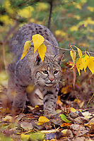 Bobcat (Felis rufus),  Western U.S., fall...NOTE: THIS PHOTO ONLY AVAILABLE AS A SCAN (50mb or less).
