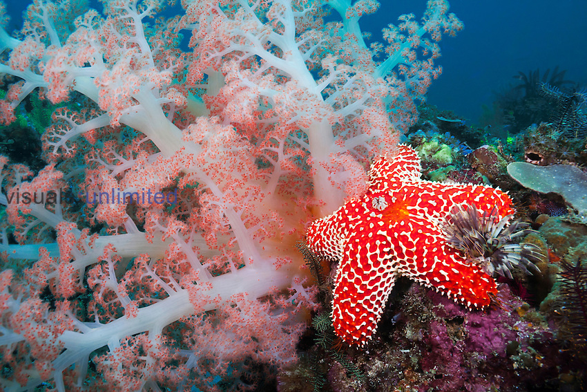Alcyonarian Coral, Starfish, Crinoids and a Featherdust Worm on reef, Rinca Island, Komodo National Park, Indonesia.