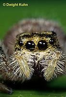 JS03-047b  Jumping Spider - female - Phidippus clarus