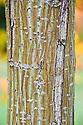 Trunk of Pere David's or snake-bark maple (Acer davidii 'George Forrest').