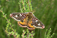Emperor Moth Saturnia pavonia Wingspan 40-60mm. An unmistakable and beautiful moth; males are day-flying, females are nocturnal. Adult male has beautifully patterned brown forewings and orange hindwings, each with a striking central eyespot; female has beautifully patterned grey wings, with maroon bands and larger eyespots than male. Larva is green with clusters of hairs arising from yellow, warty spots; feeds on Heather and Bramble. Widespread but local; associated mainly with heaths and moorland.