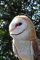 Closeup of a barn owl owned by a falconer.
