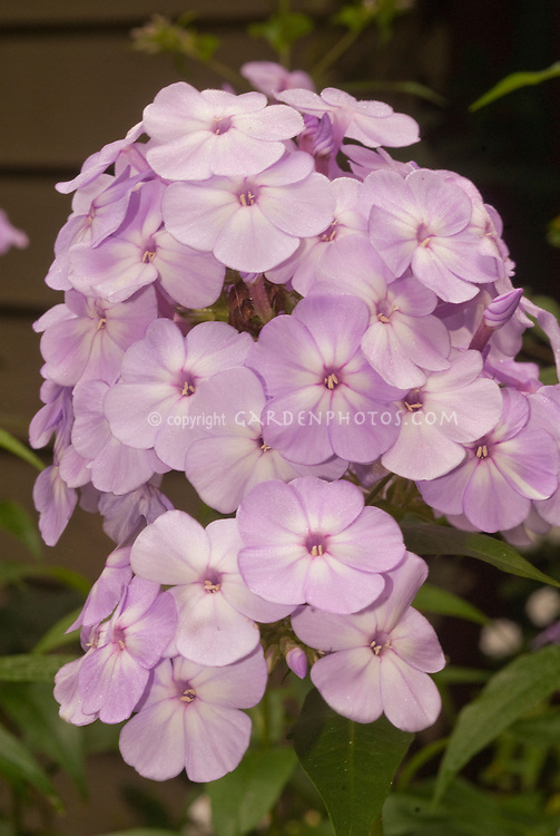 Phlox Pink Lady In Flower Plant Flower Stock Photography