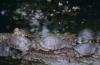 Rotwangen-Schmuckschildkröte, Buchstaben-Schmuckschildkröte, Schmuckschildkröte, Trachemys scripta elegans, Pseudemys scripta elegans, red-eared slider, red-eared turtle