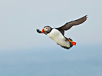 Puffin in flight in fog off Machias Seal Island