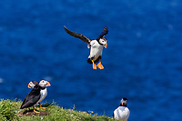 bird, Atlantic Puffin Fratercula arctica Newfoundland CANADA