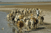 Fulani shepherd with their cows