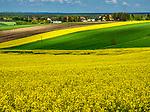 Krajobraz Małopolski - kwitnące łany rzepaku na trasie Kraków- Bochnia.