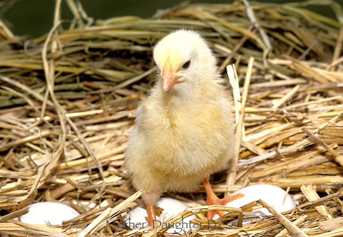 Just hatched yellow chickens