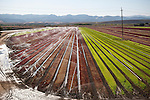 Irrigation on red and green lettuce field in the Salinas Valley of Calif.
