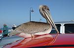 Brown pelican at Santa Cruz Muni Wharf